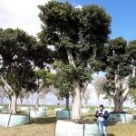 Ficus rubiginosa 4500-litres (pollarded for transport)