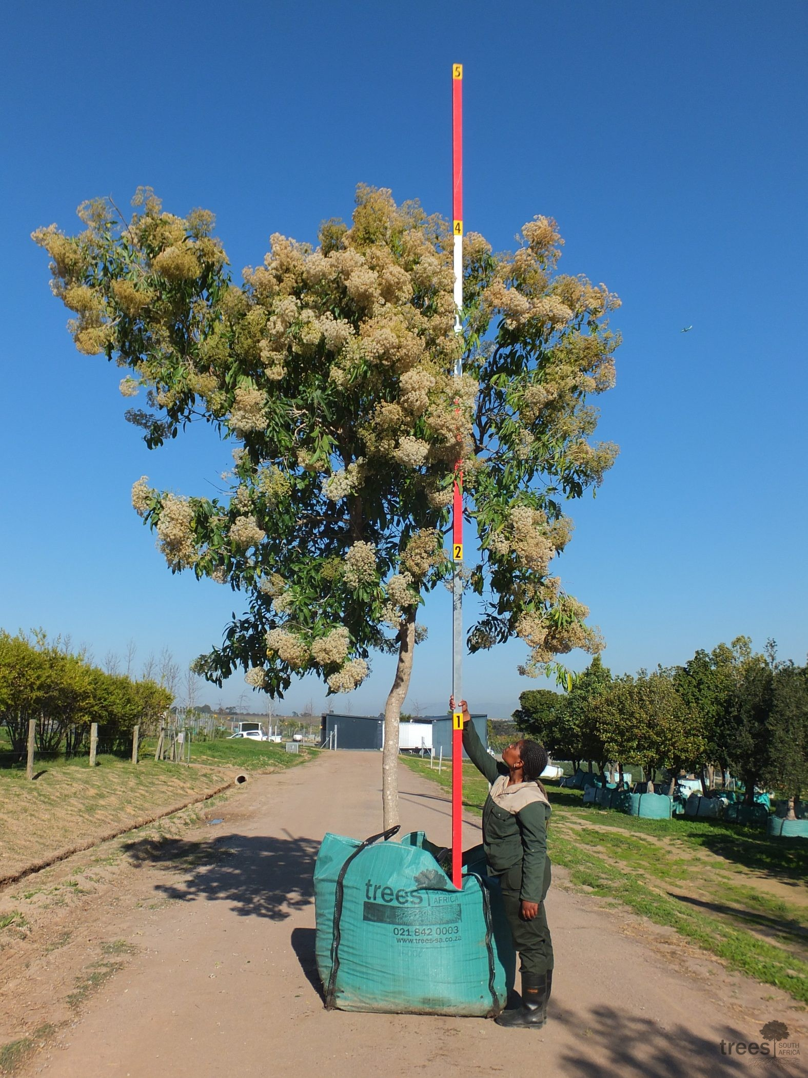 Nuxia floribunda 1000-litres - flowering in Winter