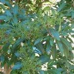 Nuxia floribunda foliage
