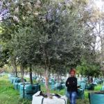 Olea africana 1000-litre