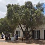Mature Olea africana - Franschhoek