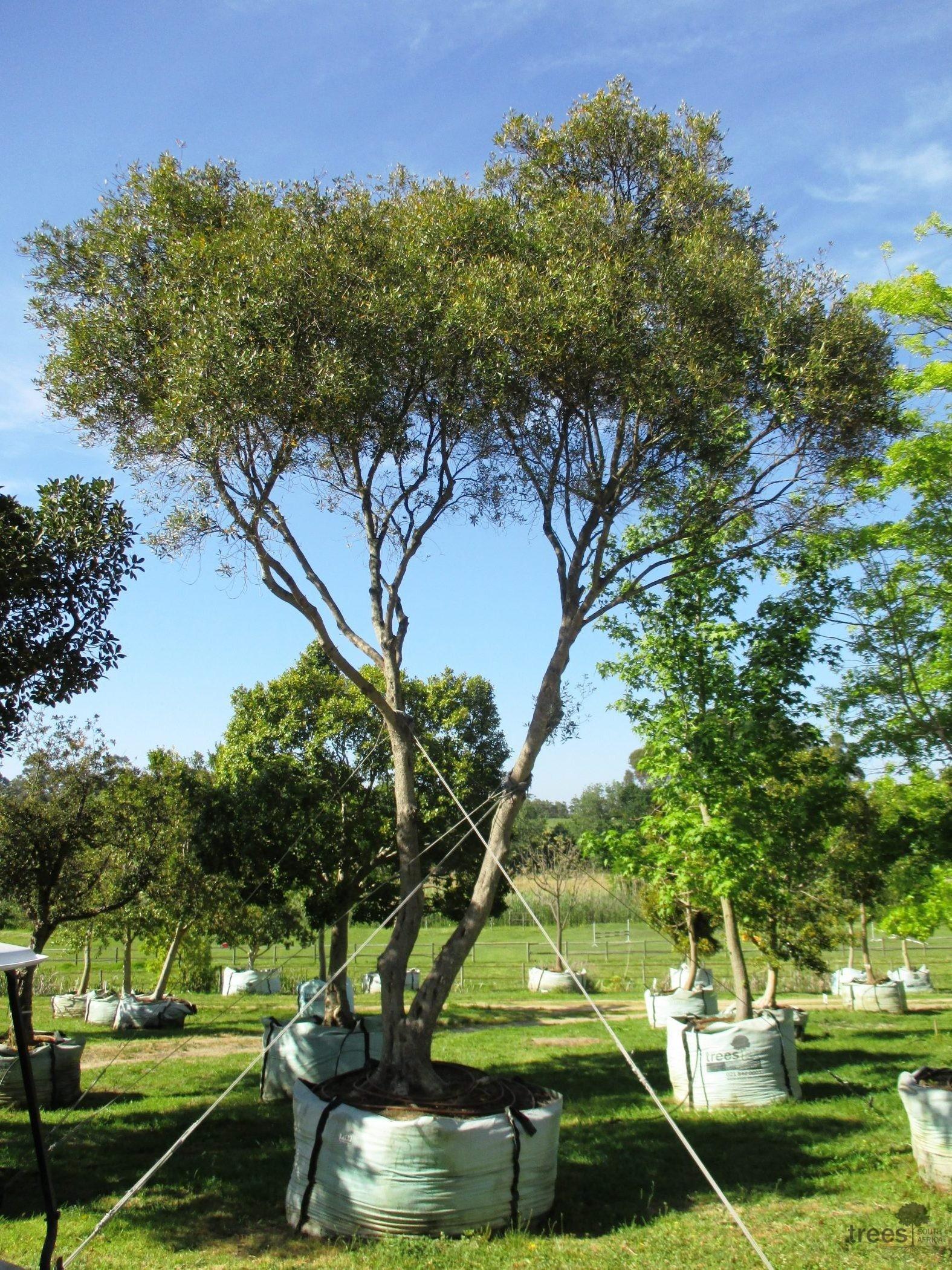 Olea africana 3000-litres