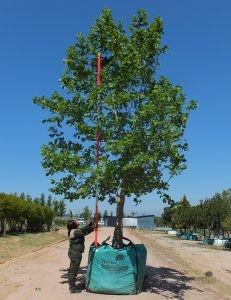 Platanus acerifolia 2000-litre