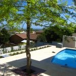 Quercus palustris - Courtyard feature