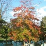 Quercus palustris 2000-litre - Autumn