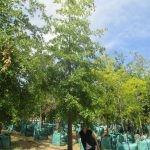 Quercus nigra 1000-litres - summer