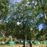 Quercus nigra 2000-litres - summer