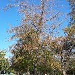 Quercus nigra 2000-litres - autumn