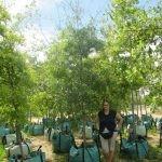 Quercus nigra 250-litres