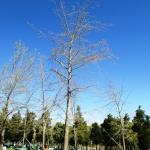 Quercus nigra 3000-litres - winter