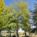 Quercus nigra 3000-litre