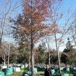 Quercus nigra 3000-litres - autumn