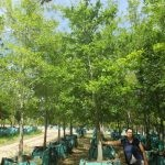 Quercus nigra 500-litres