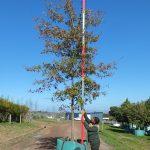 Quercus nigra 500-litres Autumn colours