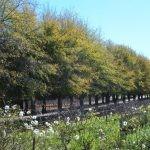 Quercus nigra avenue - Simonsig farm