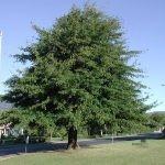 Mature Quercus nigra - Franschhoek