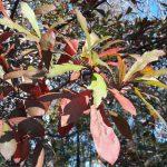 Quercus nigra autumn leaves