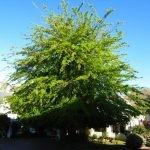 Mature Quercus nigra - Stellenbosch