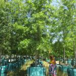 Quercus palustris 1000-litre