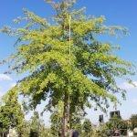 Quercus palustris 2000-litre