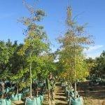Quercus palustris 250-litre