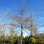 Quercus palustris 3000-litre Autumn / Winter