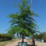 Quercus palustris 3000-litre