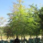Quercus palustris 500-litre