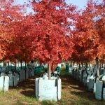 Quercus palustris Autumn in the nursery