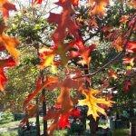 Quercus palustris Autumn foliage