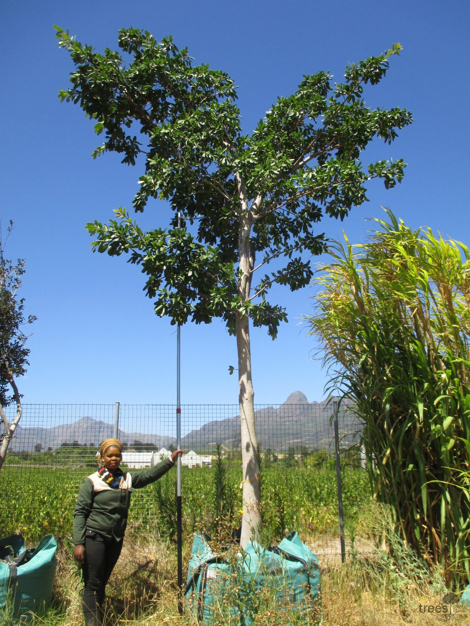 Ficus natalensis 1000-litres