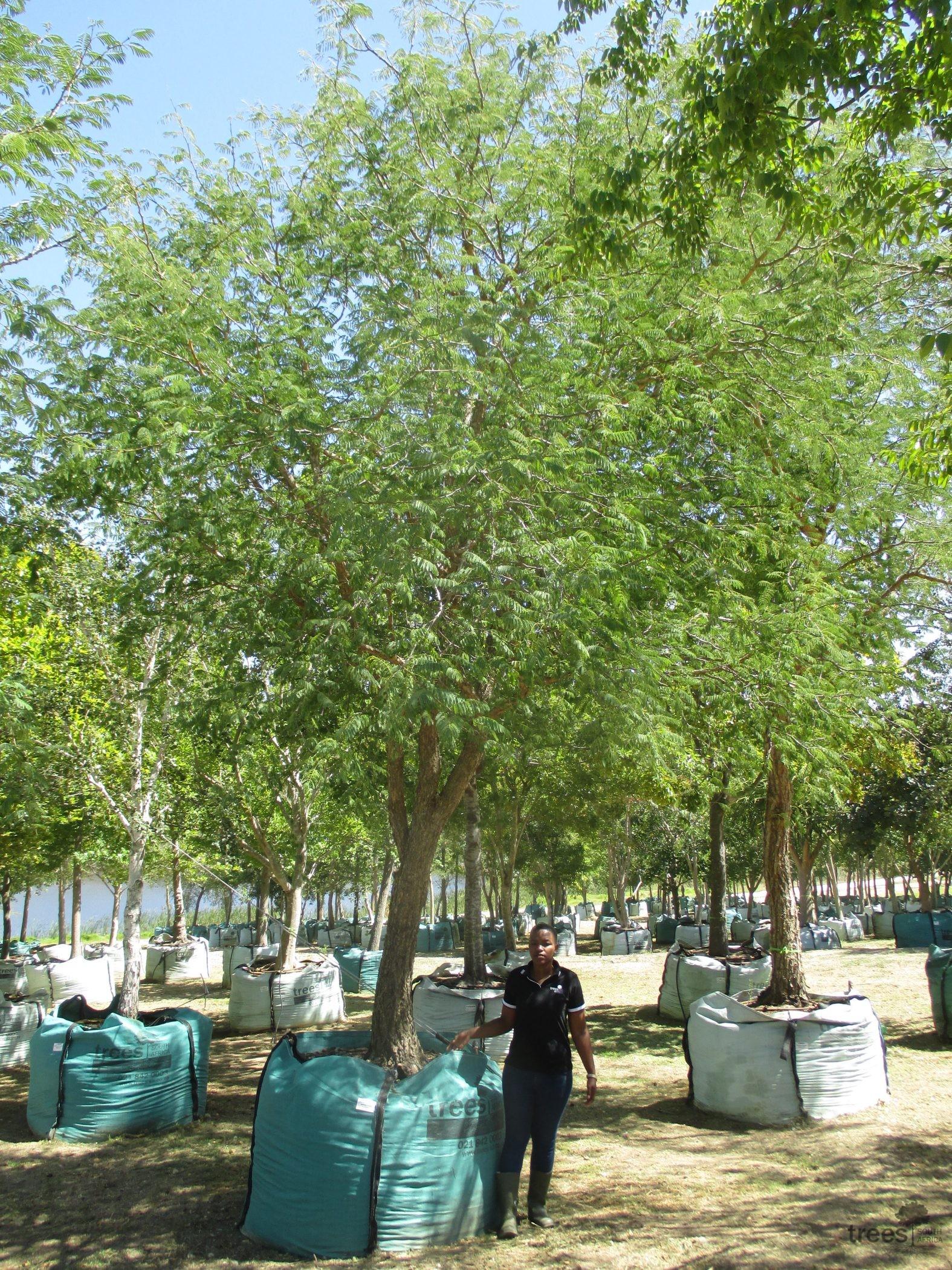 Senegalia galpinii 2000-litres