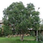 Mature Syzygium cordatum - Stellenbosch