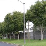 Mature Syzygium guineense - Eversdal