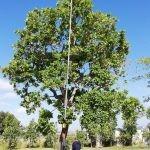 Syzygium cordatum 2000-litres