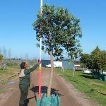Syzygium cordatum 250-litres