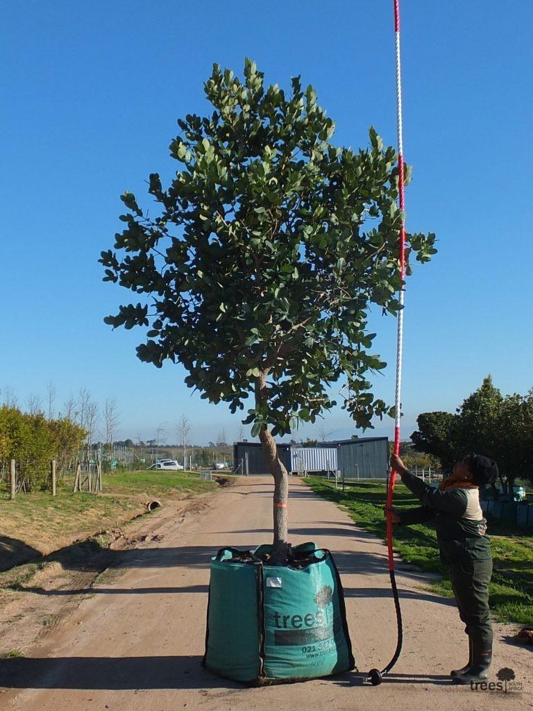 Syzygium cordatum 500-litres