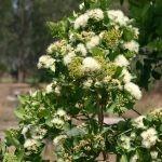 Syzygium cordatum flowers