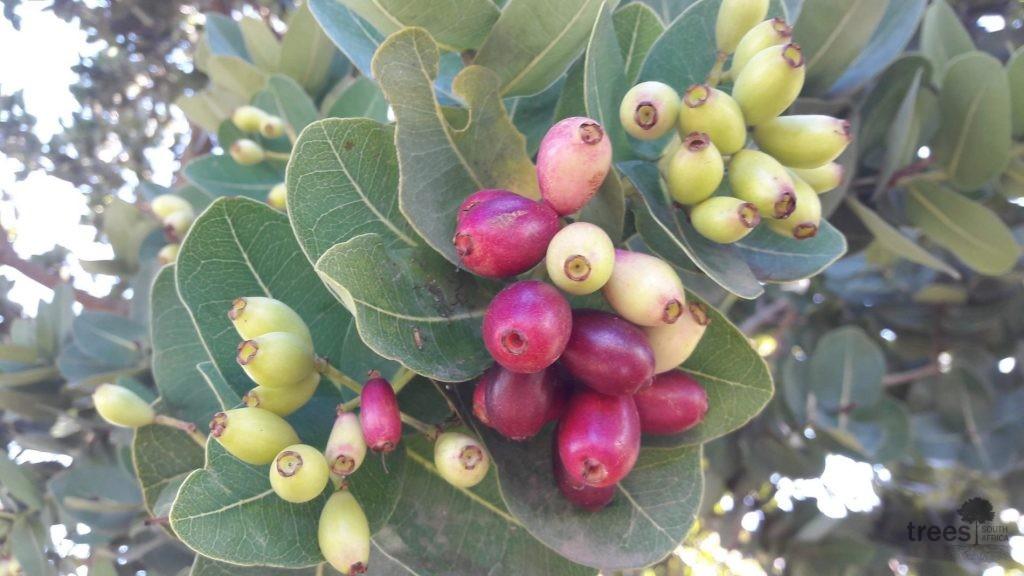 Syzygium cordatum fruit