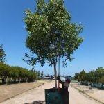 Syzygium guineense 1000-litres