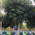 Syzygium guineense 2000-litres