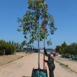 Syzygium guineense 250-litres