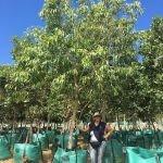 Syzygium guineense 500-litres