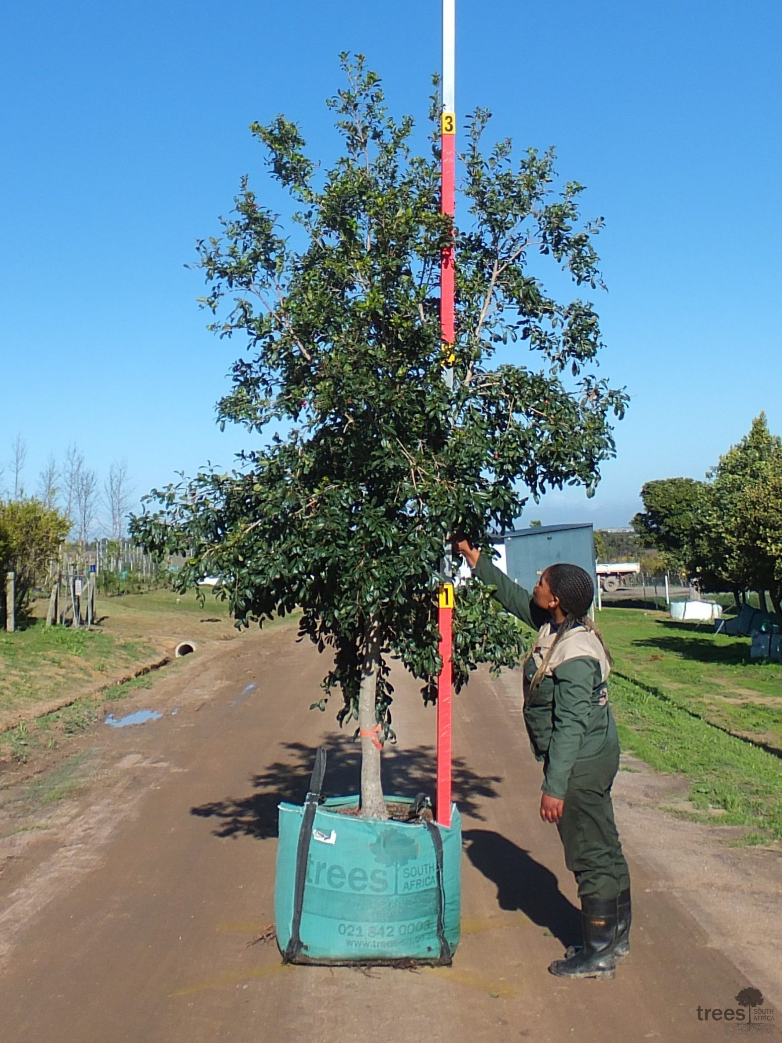 Syzygium paniculatum 250-litre