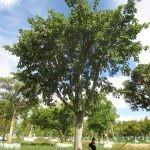Ficus natalesis 4500-litres