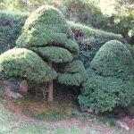 Afrocarpus falcatus topiary style
