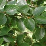 Celtis sinensis foliage