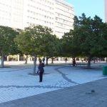 Ficus microcarpa - urban environment