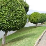 Ficus microcarpa (nitida) topiary style