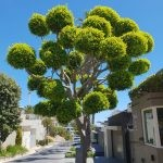 Ficus microcarpa (nitida) topiary style - Camps Bay